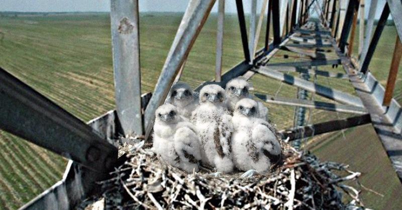 Középfeszültségű szabadvezeték-hálózatok madárbarát méretezése