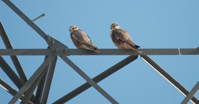 Nagyfeszültségű távvezetékek által okozott balesetektől védenék a madarakat