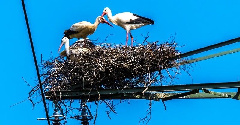 Több mint félezer madár pusztult el áramütés miatt